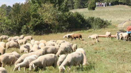 Schafe und Ziegen standen im Mittelpunkt des Interesses von vielen Besuchern, die sich unter anderem an Führungen auf dem Kühsteinfelsen in Mönchsdeggingen über die Tiere, deren Haltung und Erzeugnisse aber auch Probleme und Zukunftssorgen der Besitzer informieren ließen.