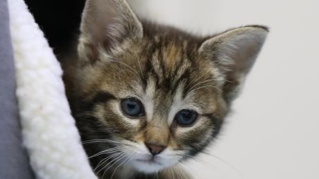 Ein Kätzchen ist zwar süß, allerdings kein gutes Geschenk.