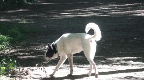 EIn Mischlingshund kam in Mindelheim abhanden (Symbolfoto).