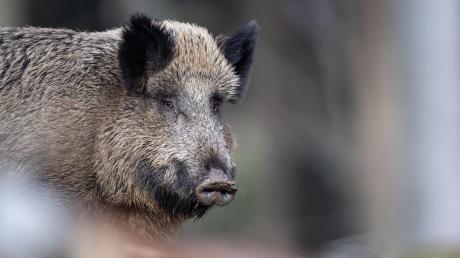 Wildschweine sollten nicht unterschätzt werden.
