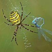 Beute im Netz einer Wespenspinne. Selbst eine Libelle ist verloren, wenn sie in deren Fänge gerät.