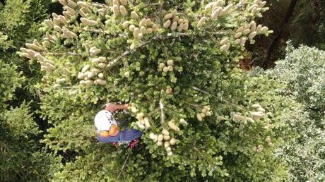 Am Riesrand pflücken Kletterer Zapfen aus Bäumen. Aus ihnen soll eine neue Generation Wald entstehen.