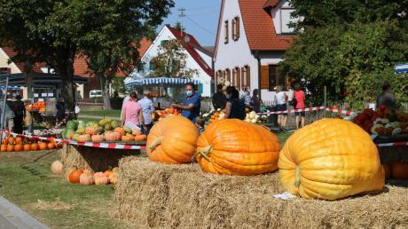 Die Riesenkürbisse waren eine besondere Attraktion beim Kürbisfest in Alerheim. Sie wiegen zwischen 110 und 167 Kilogramm. Um so groß zu werden, benötigen sie viel Wasser.