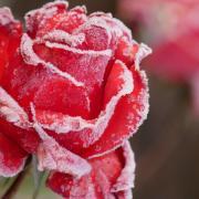 Der erste Frost überzieht die letzten Rosenblüten mit feinen Eiskristallen. Welch frostige Schönheit, die uns RN-Leser Gerhard Amslinger aus Megesheim geschickt hat.