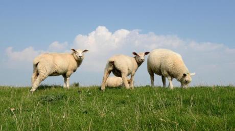 In Leeder büxen acht Schafe immer wieder aus ihrem Gehege aus. Der Besitzer kümmere sich nicht um seine Tiere, sagt ein Anwohner.