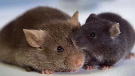 Eine kleine Mäusefamilie feiert Weihnachten bei Hempels unterm Sofa.