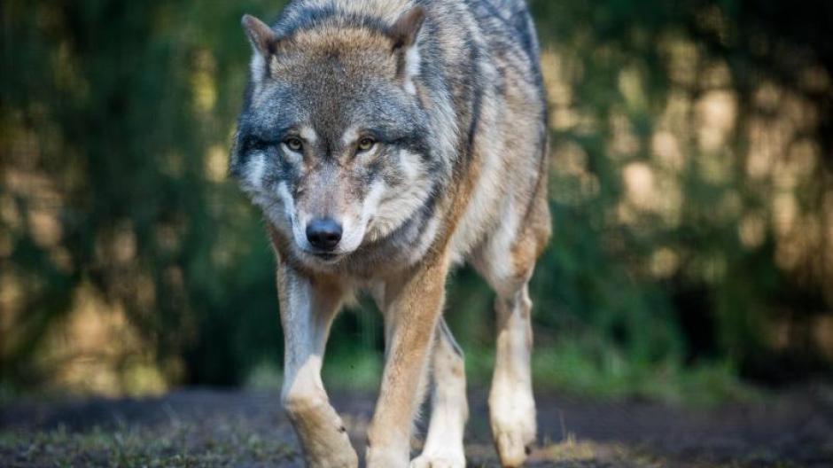 Umwelt Niedersachsen Geht Gegen Zudringlichen Wolf Vor Promis