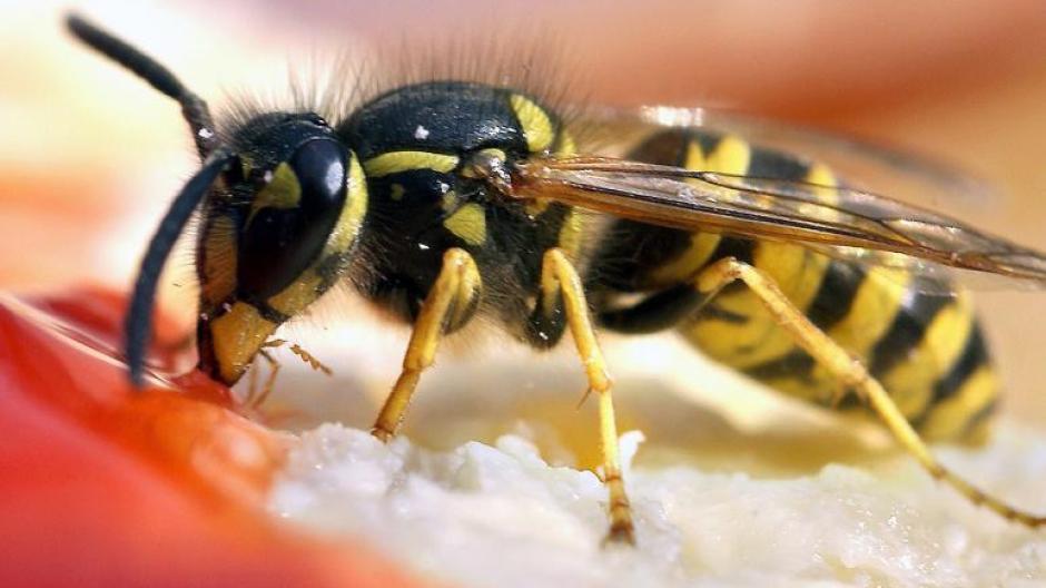 Ratgeber So Wehren Sie Sich Am Besten Gegen Wespen Mücken Und Co