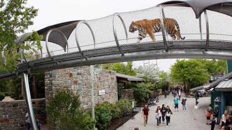 Wer beobachtet hier wen? In Philadelphia stolzieren Tiger durch solche gesicherten Röhren über die Köpfe der Besucher hinweg.