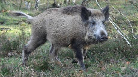 Wildschweine fühlen sich im Lechauwald bei Todtenweis sauwohl.