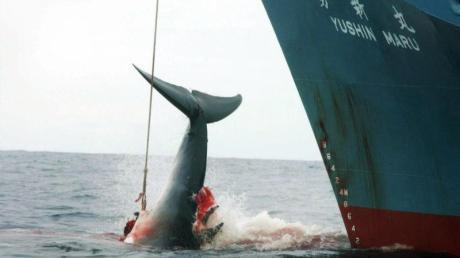 Umstrittene Tradition: Japan hat den kommerziellen Walfang wieder aufgenommen.