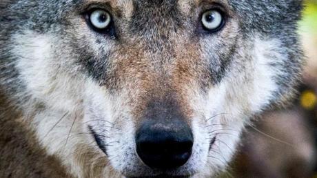 Auf der A96 bei Kaufering wurde ein Tier. angefahren, das eine gewisse Ähnlichkeit mit einem Wolf haben soll.