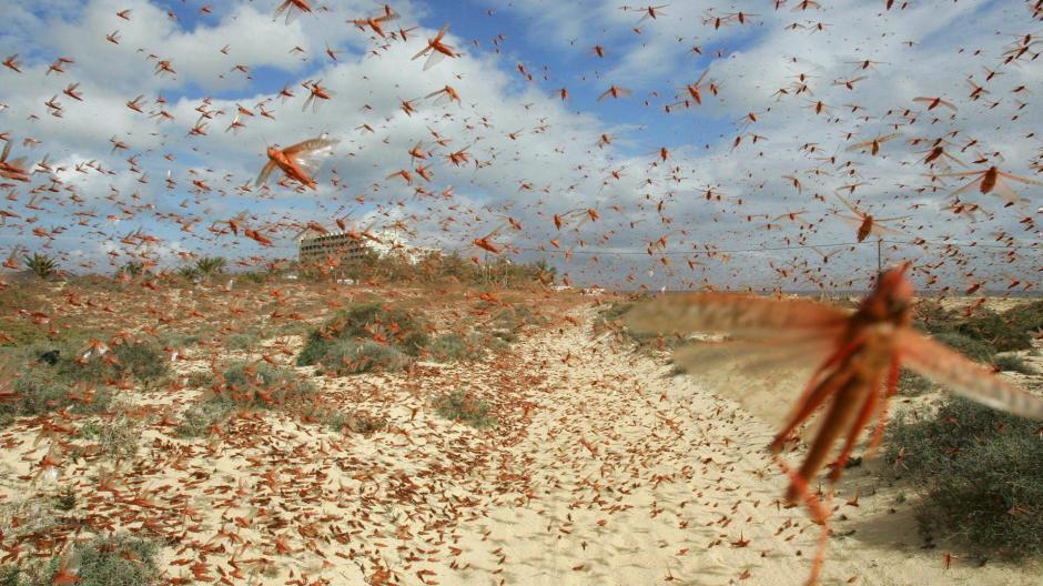 afrika heuschrecken