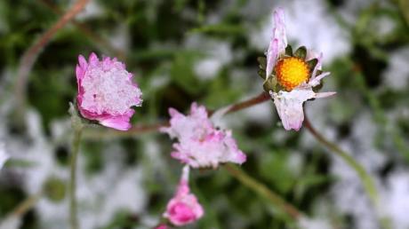 Gänseblümchen sind in einem Garten mit Schnee bedeckt. Temperaturen weit unter Null gefährden besonders im Süden Deutschlands frühblühende Pflanzen.