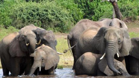 In Botsuana hat die Regierung die Jagd auf Elefanten wieder erlaubt. Die Jagd wird künftig aber streng kontrolliert. Foto: Charmaine Noronha/AP