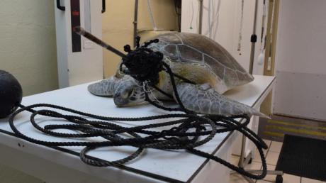 """Mit einem Speer im Hals und verwickelt in eine Fangschnur: Meeresschildkröte """"Splinter"""" in der Tierklinik """"The Turtle Hospital""""."""