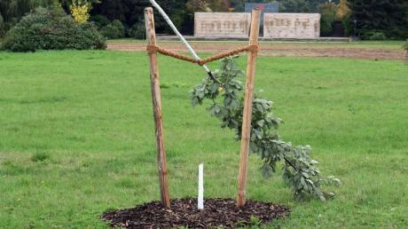 Die von Unbekannten abgesägte deutschen Eiche im Schwanenteichpark. Der Baum war Teil eines Gedenkortes für Enver Simsek, dem ersten NSU-Mordopfer.
