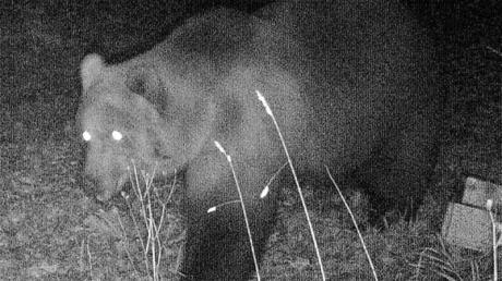 Das Foto einer Wildtierkamera im Landkreis Garmisch-Partenkirchen zeigt einen Braunbären.