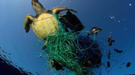 Tödliche Falle: Eine Meeresschildkröte hat sich in den Überresten eines Fischernetzes verfangen. Foto: Marco Care/Greenpeace/dpa