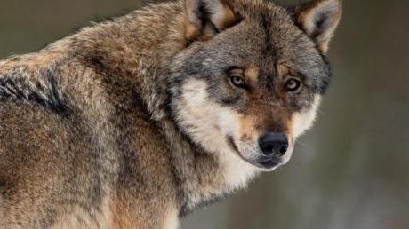 Das Bundesamt für Naturschutz geht von mindestens 275 erwachsenen Wölfen infreier Wildbahn in Deutschland aus.
