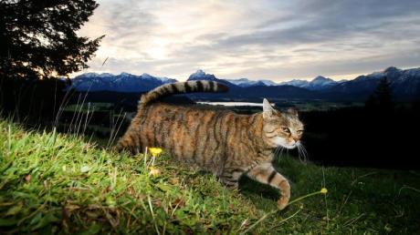 Zum Schutz von Vögeln: Nach Auffassung niederländischer Juristen sollen Katzen nicht mehr umherstreunen dürfen.
