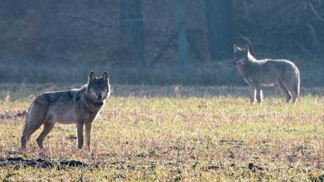 Im Jahr 2018 gab es nach Angaben des Bundes 639 gemeldete Wolfsübergriffe mit insgesamt 2067 getöteten, verletzten oder vermissten Nutztieren.