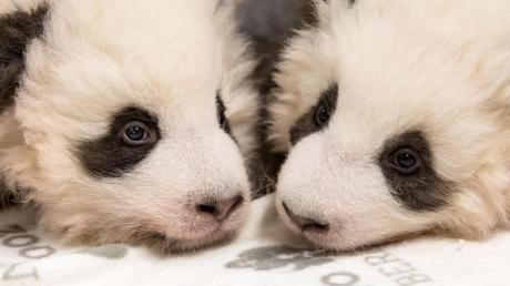 Die beiden Panda-Jungtiere aus dem ZooBerlin.