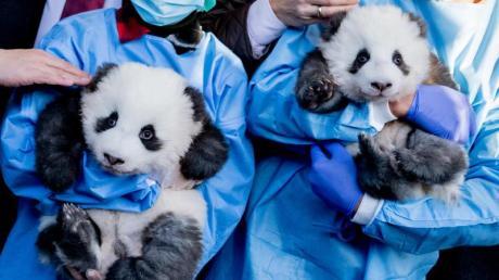 Die Panda-Zwillings-Männchen «Meng Yuan» (l) und «Meng Xiang» im Berliner Zoo.