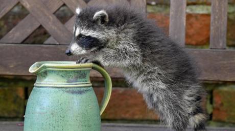 Auch er hat Durst:Ein junger Waschbär erkundet im brandenburgischen Sieversorf einen Garten.