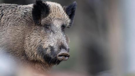 In Bayern sind wieder mehr Wildschweine unterwegs. Davon sind vor allem Landwirte betroffen. Doch kommen die Tiere in die Stadt, kann es gefährlich werden.