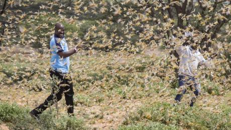 Der Osten Afrikas wird derzeit von der schwersten Heuschreckenplage seit 25 Jahren heimgesucht.