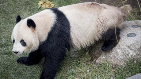 Das Panda-Männchen Xing Er sorgte am Montag mit einem spektakulären Fluchtversuch aus dem Kopenhagener Zoo für Schlagzeilen.