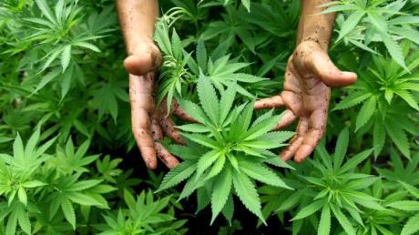 Cannabispflanzen auf einer - legalen - Plantage in Israel.