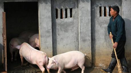 Ein chinesischer Landwirt treibt seine Schweine in den Stall. Forscher aus China haben ein neues Schweinegrippe-Virus identifiziert.