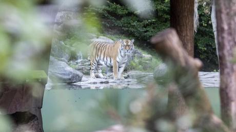 Im Zoo Zürich ist am Samstag eine Tierpflegerin von einem Tiger getötet worden. Warum sie sich in der Anlage befand, ist bislang unklar.