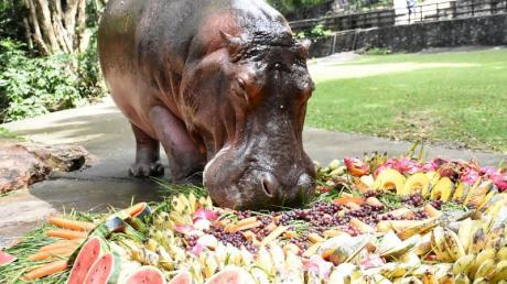 Nilpferddame Mae Mali macht sich im Khao Kheow Open Zoo anlässlich ihres 55. Geburtstags über eine Torte aus Früchten und Gemüse her.