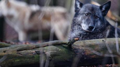 Die beiden Wolfshybriden Ronja (r.) und Raik in einem Gehege im Alternativen Bärenpark Worbis.
