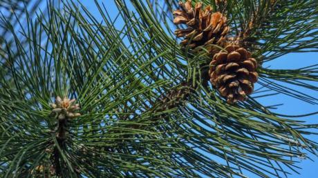 Zapfen hängen am Ast einer Schwarzkiefer. Der Bundesgerichtshof (BGH) hat in einem Nachbarschaftsstreit um einen nadelnden Baum an der Grundstücksgrenze ein Urteil gesprochen.