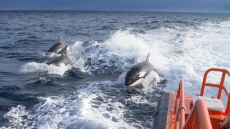 Das undatierte Foto, das vom spanischen Ministerium für Verkehr, Mobilität und städtische Agenda zur Verfügung gestellt wurde, zeigt drei Orcas, die neben einem Seenotrettungsboot schwimmen.