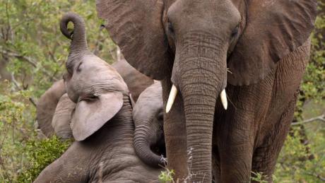 Der Bundestag fordert erweiterte Lebensräume für afrikanische Elefanten. Foto: Jon Hrusa