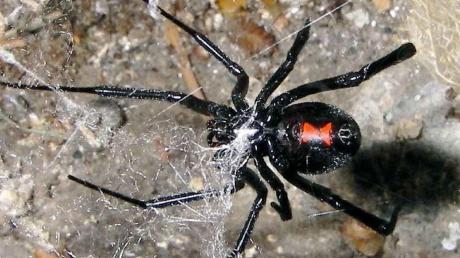 So sieht die Schwarze Witwe aus. Es gibt viele verschiedene Arten der Giftspinne, auch eine mediterrane, die in Europa lebt und weniger gefährlich ist.