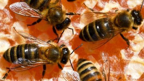 Freilandverbot für bienenschädliche Insektizide? In Brüssel wird abgestimmt. Foto: Jens Kalaene