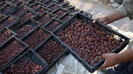 Ernte von Datteln im Westjordanland: Israel hat den Export landwirtschaftlicher Erzeugnisse aus den Palästinensergebieten verboten.