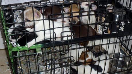 Immer wieder werden Haustiere wie diese Welpen illegal in engen Käfigen importiert.