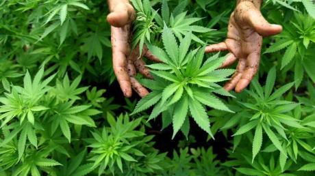 Daten der Bundeszentrale für gesundheitliche Aufklärung zufolge ist der Cannabiskonsum bei jungen Menschen in den vergangenen Jahren deutlich gestiegen.