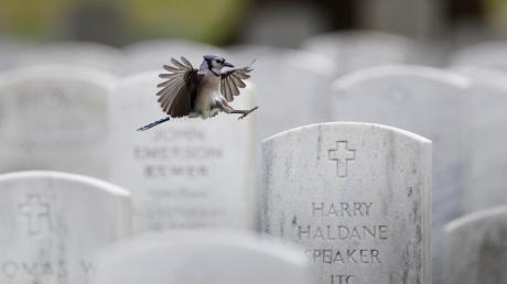 Ein Blauhäher landet auf einem Grabstein auf dem Arlington National Cemetery. Wenig später schmücken die Mitglieder des 3.US-Infanterieregiments die Gräber zum Memorial Day mit US-Fahnen.