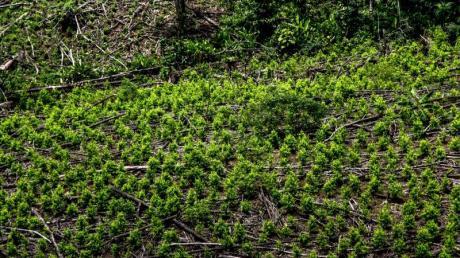 Luftaufnahme einer Kokaplantage im kolumbianischen Tumaco.