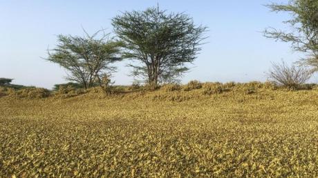 Ein riesiger Heuschreckenschwarm bedeckt im Norden Kenias den Boden.