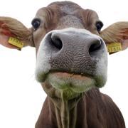 Entlaufene Rinder haben laut Polizei nahe Lutzingen einen Großeinsatz ausgelöst. Noch sind nicht alle Kühe wieder eingefangen.