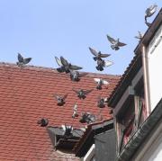 Wenn Marcel Stemmler den Taubenschlag im Dachboden des Verwaltungsgebäudes am Augsburger Rathaus betritt, fliegen die Tiere schnell aus.